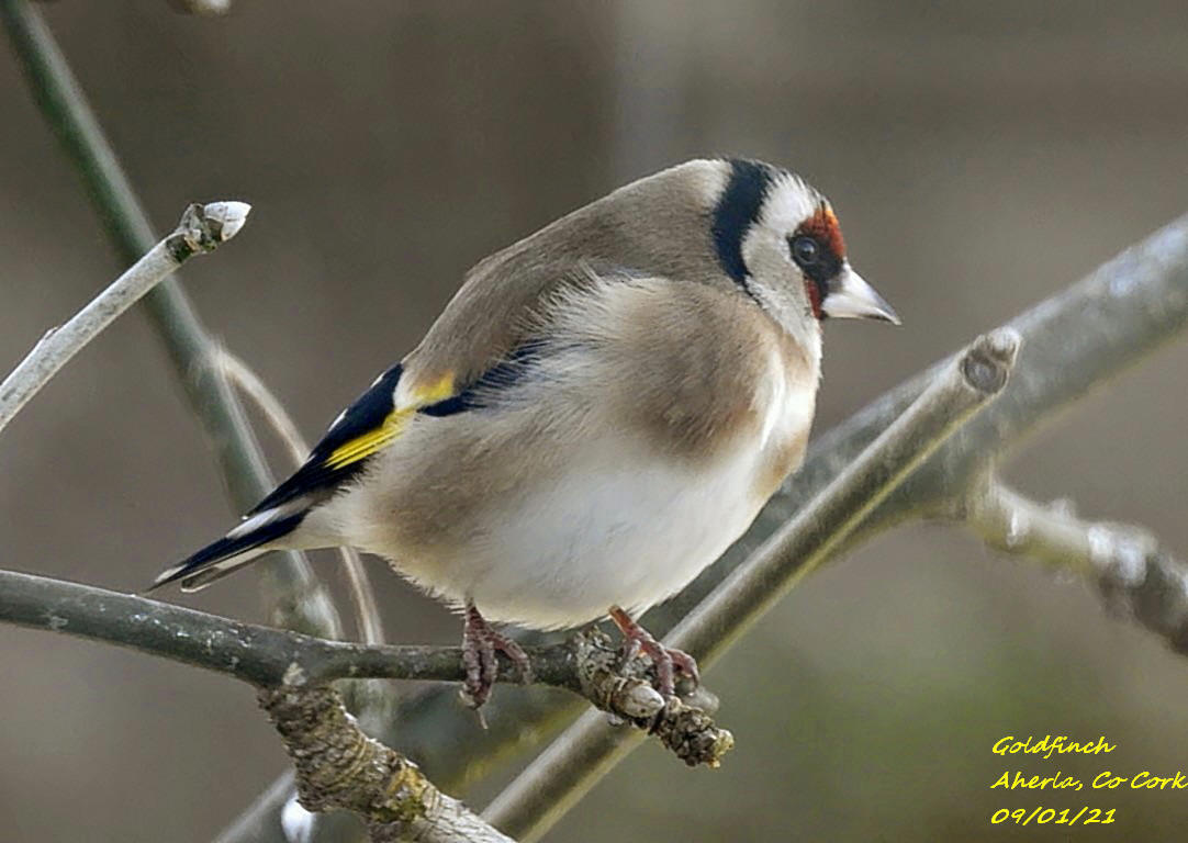 Goldfinch 8