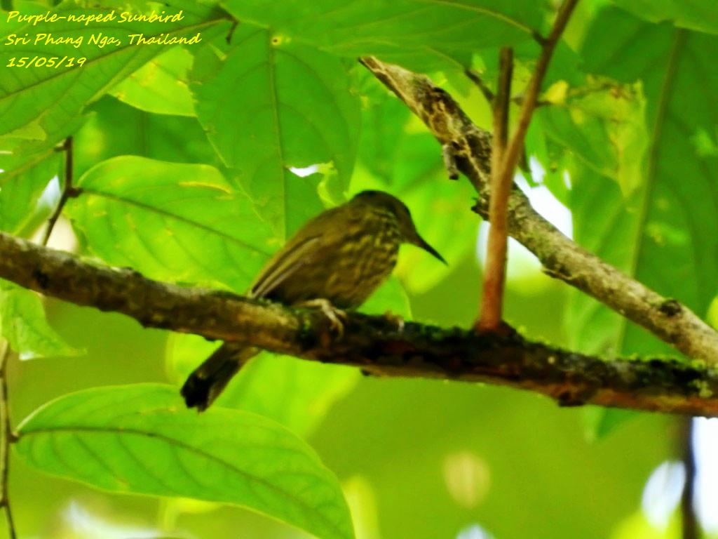 Purple-naped Sunbird
