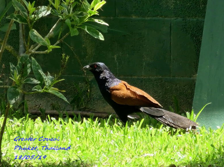 Greater Coucal 4