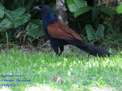 Greater Coucal 3