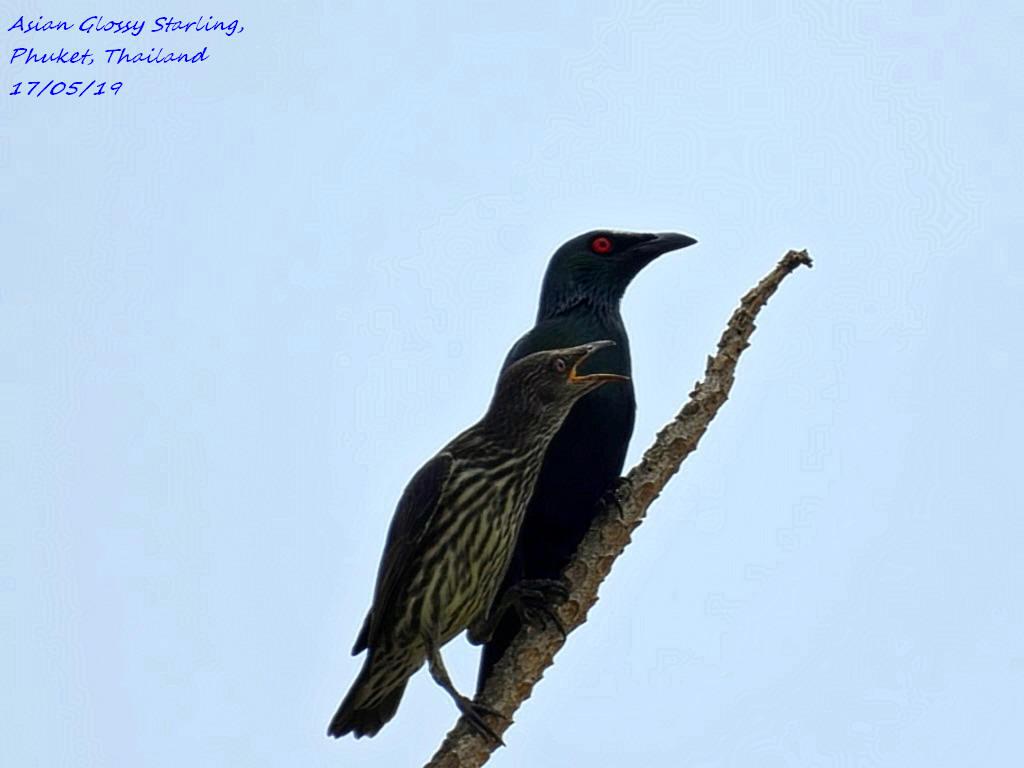 Asian Glossy Starling 2