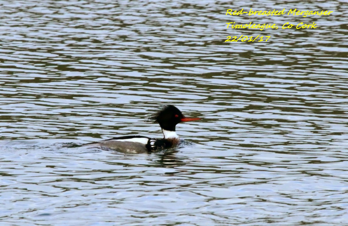Red-breasted Merganser 6