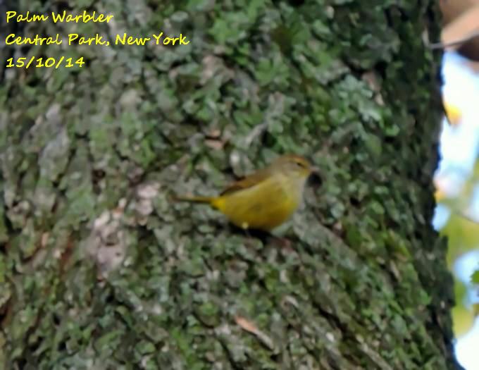 Palm Warbler 1