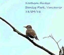 Northern Flicker 1