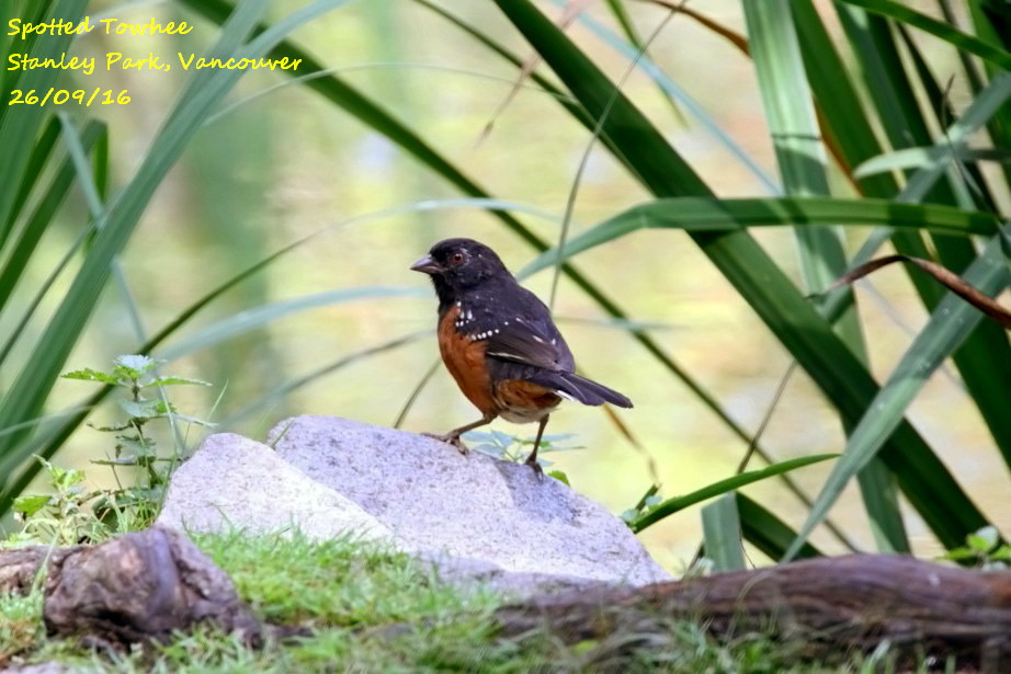 Spotted Towhee 3