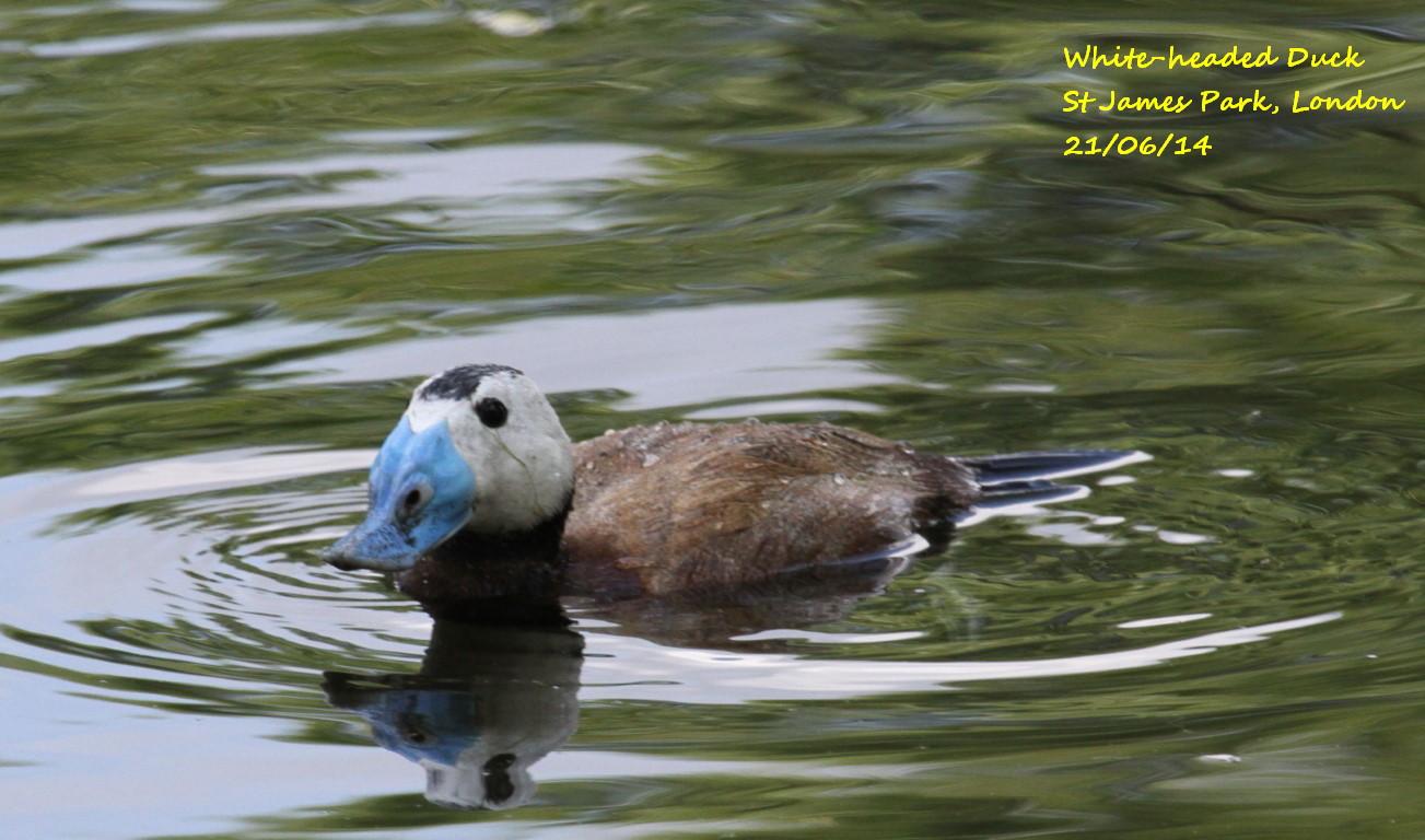 White-headed Duck 1