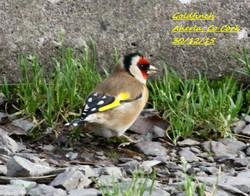 Goldfinch 3