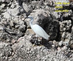 Little Egret 5