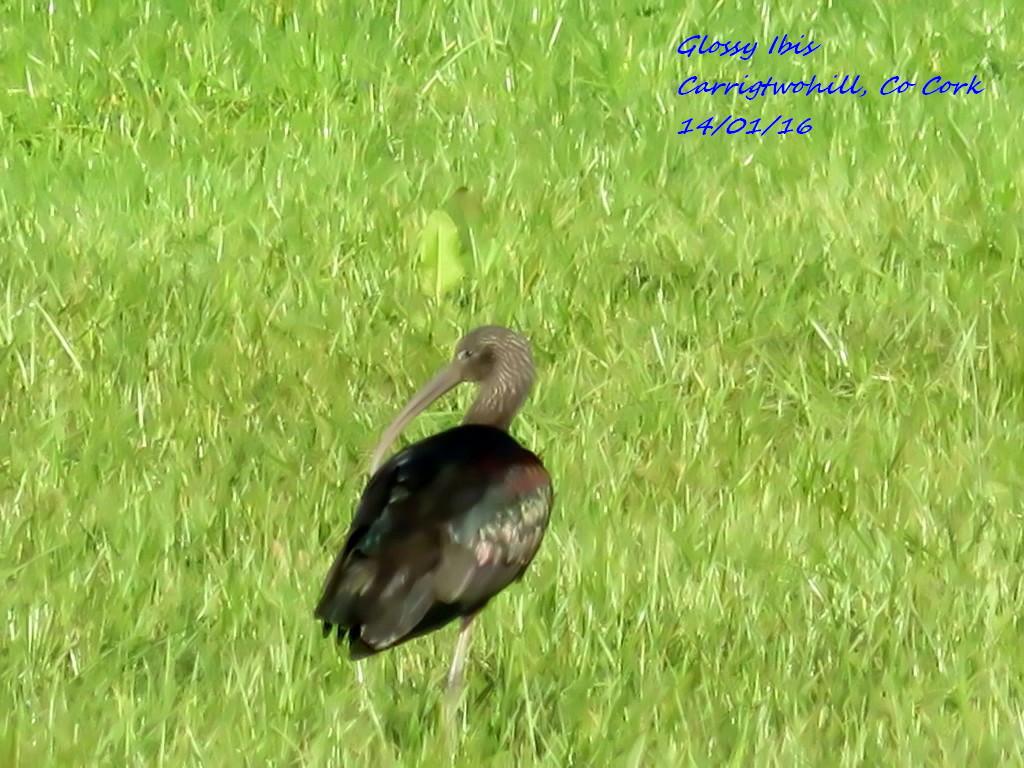 Glossy Ibis 2