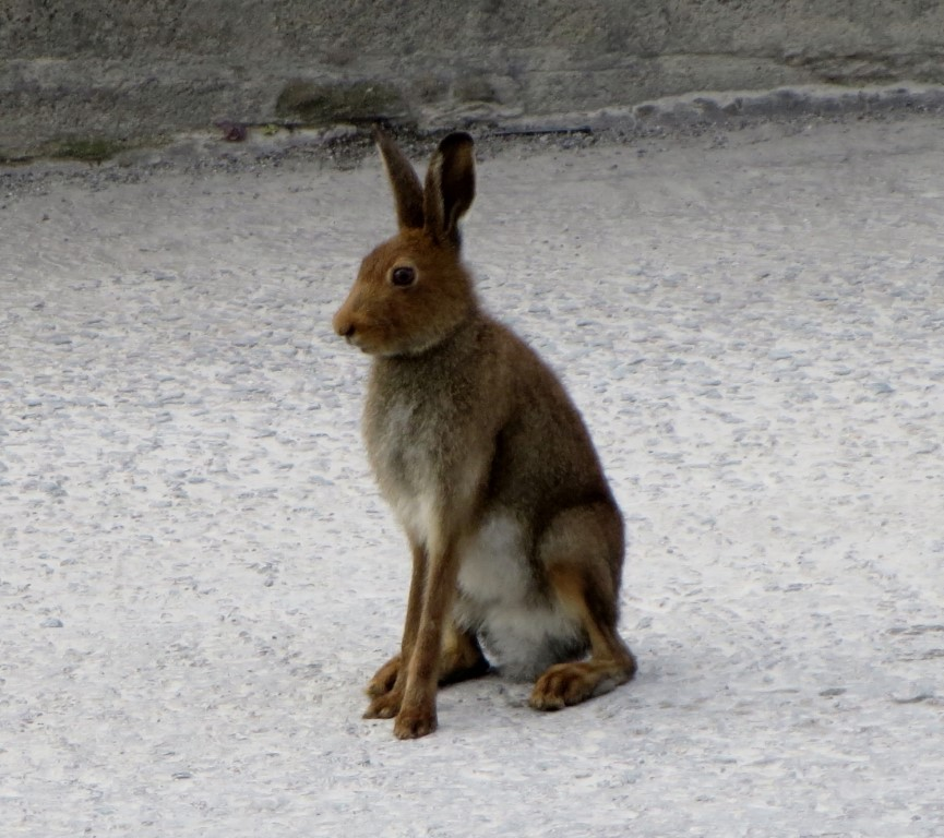 Mallow Hare
