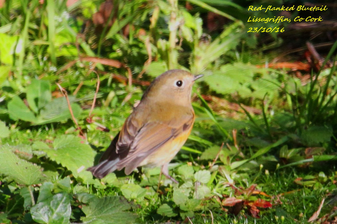 Red-flanked Bluetail 6