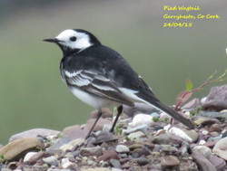 Pied Wagtail 4