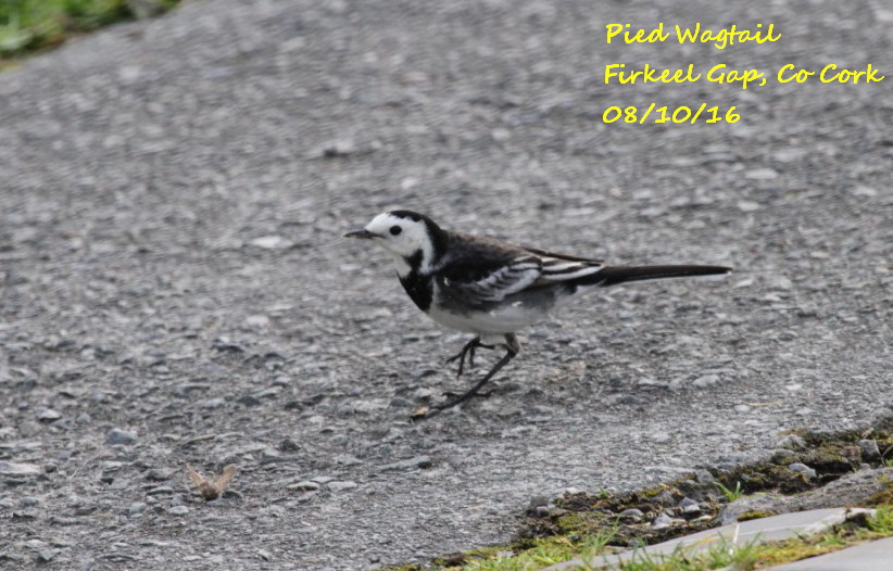 Pied Wagtail 3