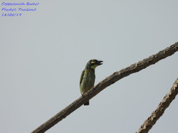Coppersmith Barbet 6