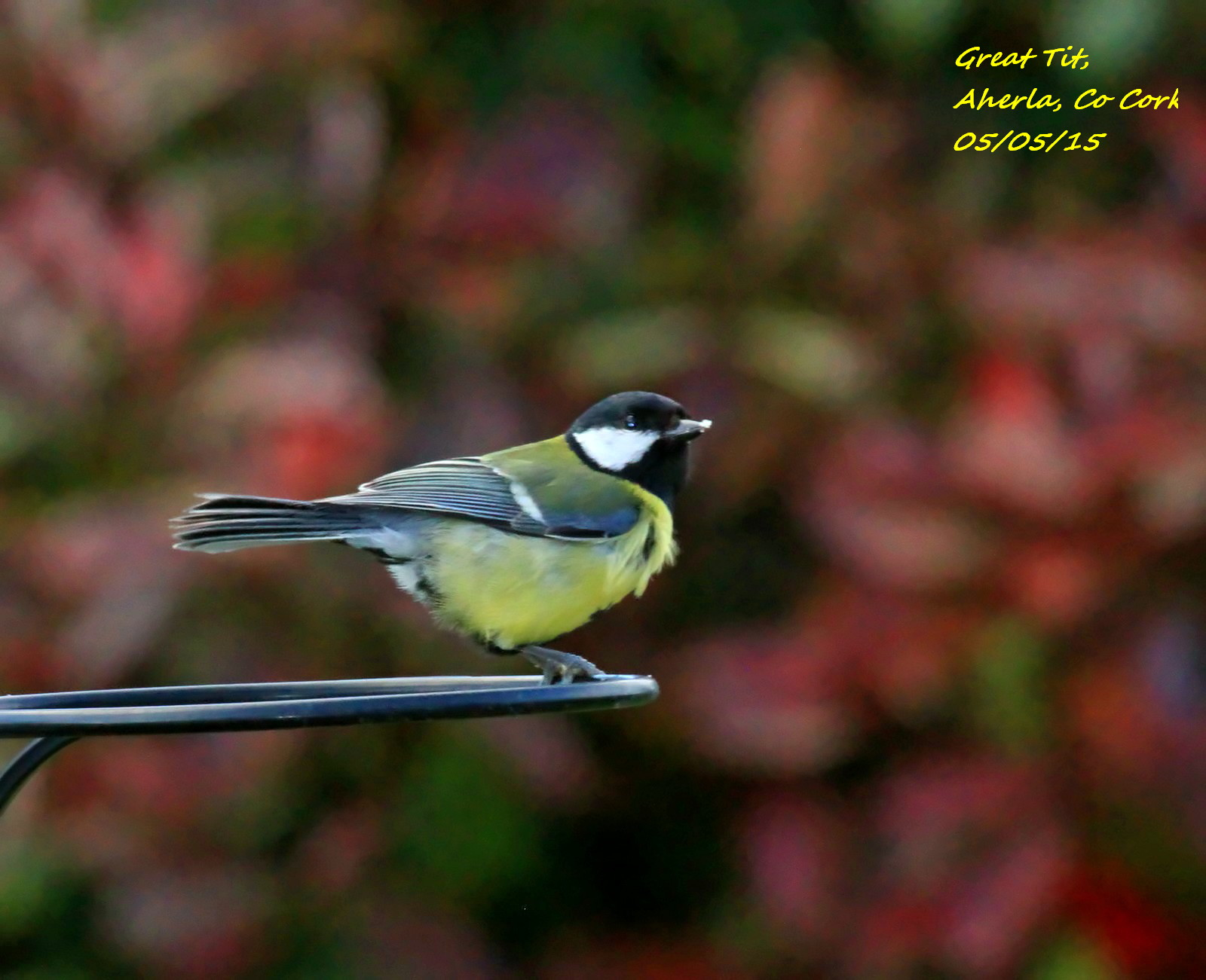 Great Tit 3