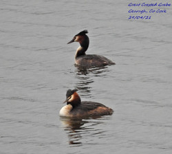 Great Crested Grebe 8