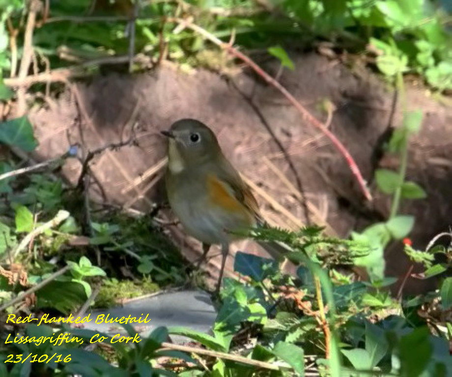 Red-flanked Bluetail 4