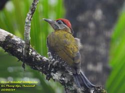 Streak-breasted Woodpecker 4