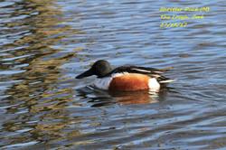 Shoveler Duck 6