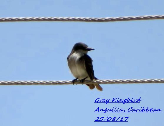 Grey Kingbird 2
