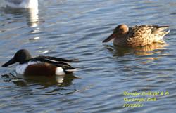 Shoveler Duck 5