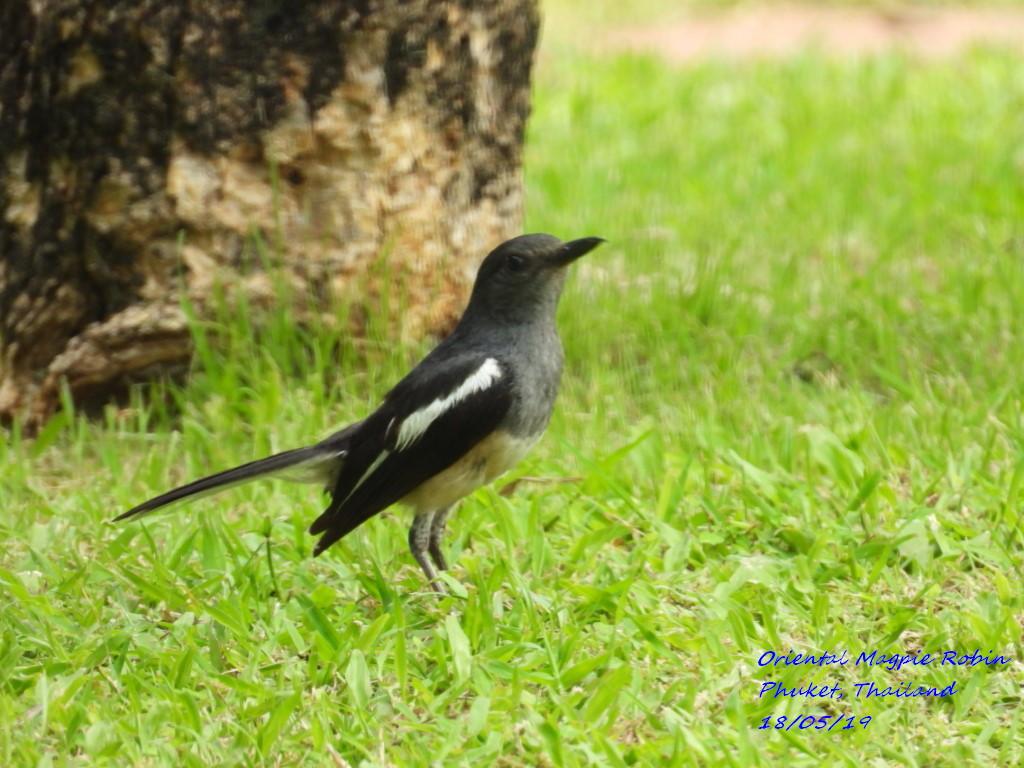 Oriental Magpie Robin 4
