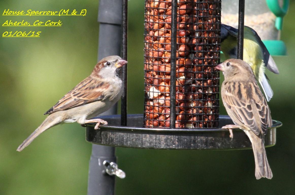 House Sparrow 4
