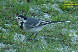 Pied Wagtail 7