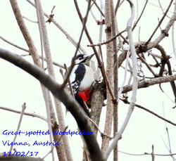 Great-spotted Woodpecker 3