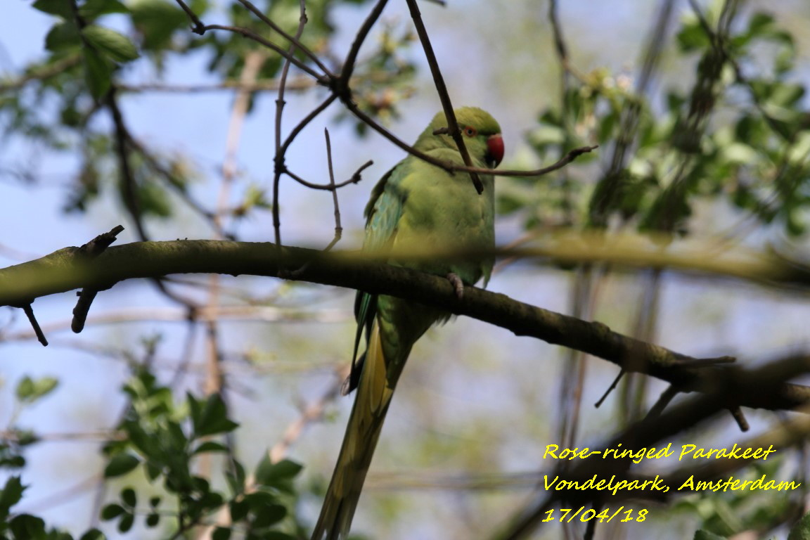 Rose-ringed Parakeet 1