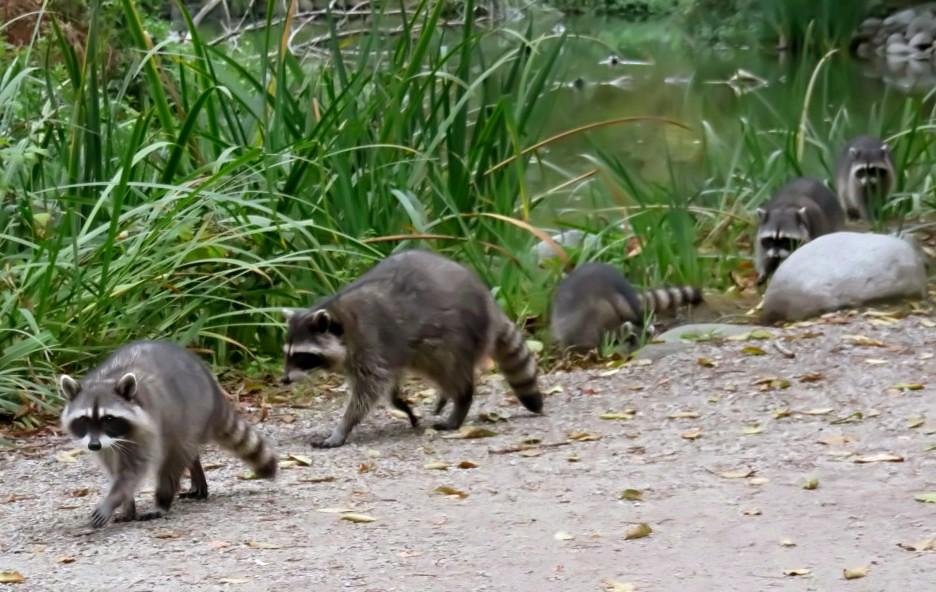 Raccoon(4)
