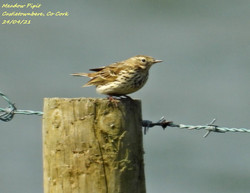 Meadow Pipit 6