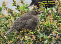 Starling 9