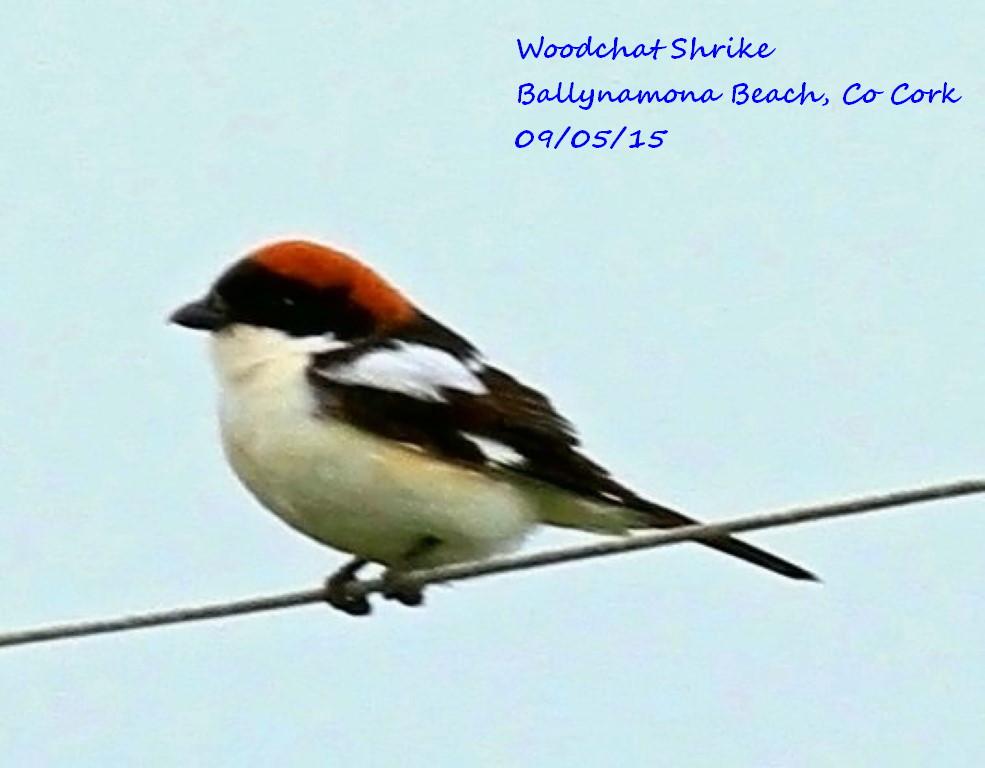 Woodchat Shrike 3