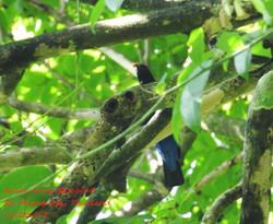 Asian Fairy Bluebird 1