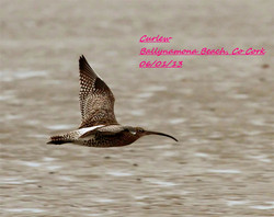 Curlew 3