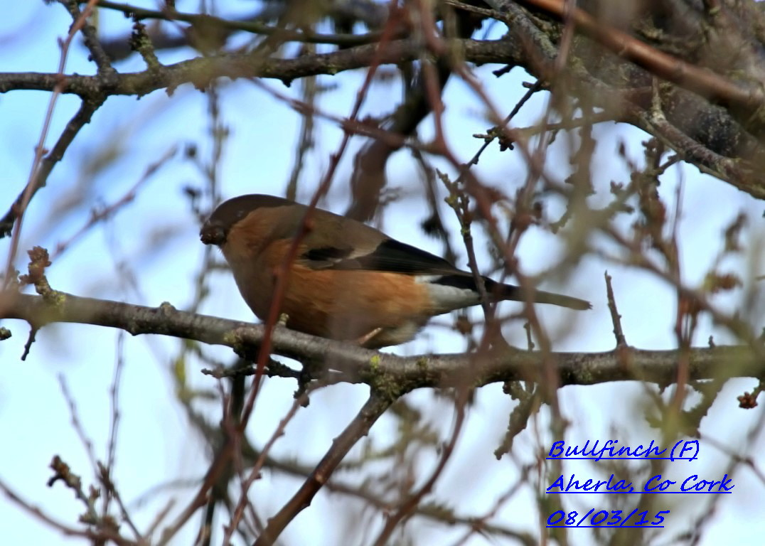 Bullfinch 5