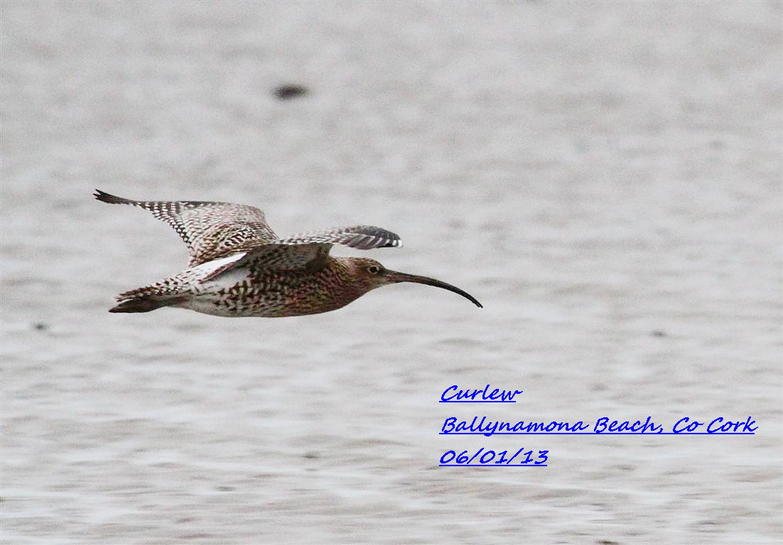 Curlew 4