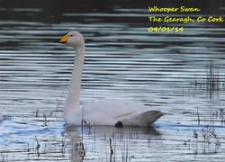 Whooper Swan 1