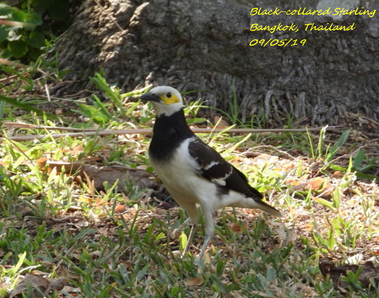 Black-collared Starling 1