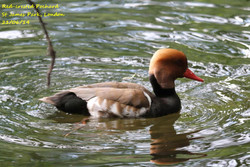 Red-crested Pochard (M) 2