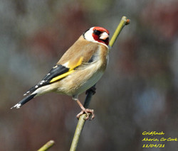 Goldfinch 4
