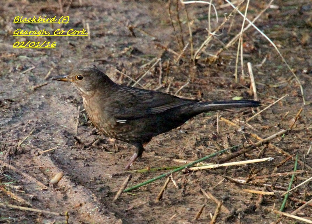 Blackbird 4