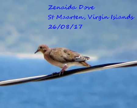 Zenaida Dove 1