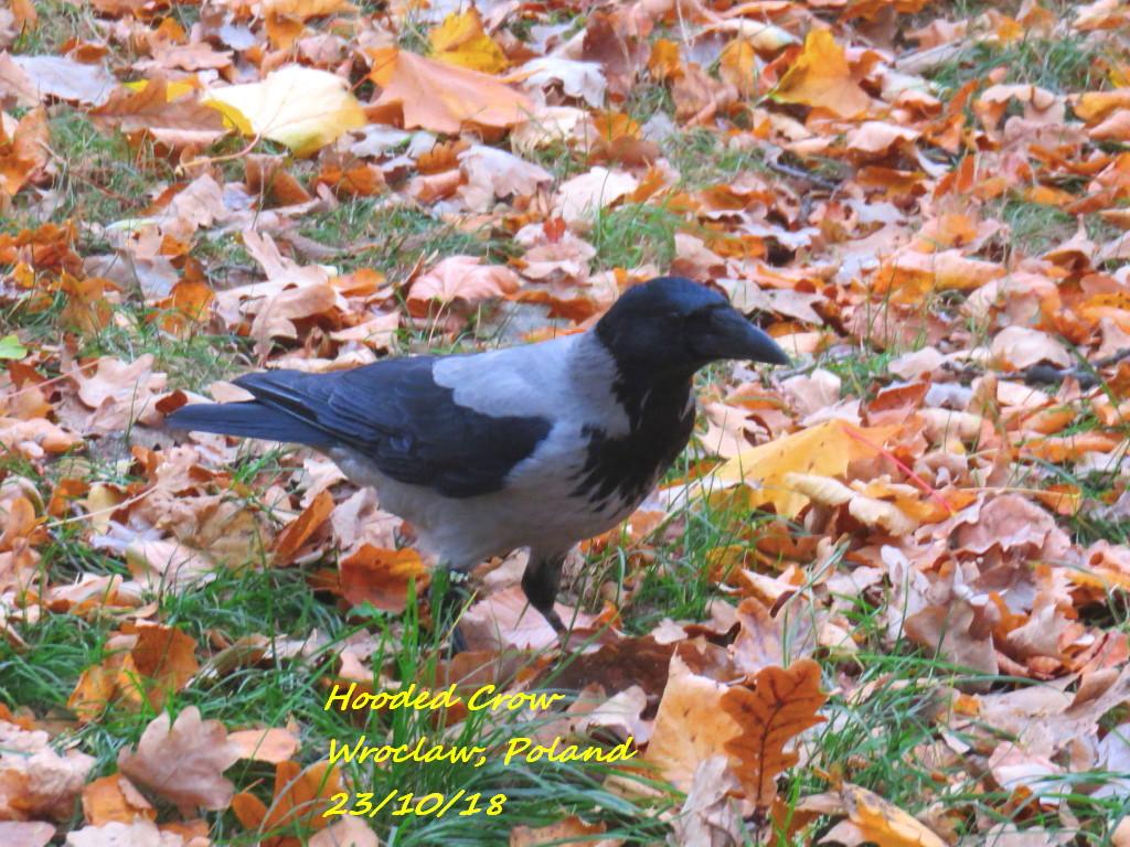 Hooded Crow 5
