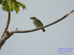 Coppersmith Barbet 1