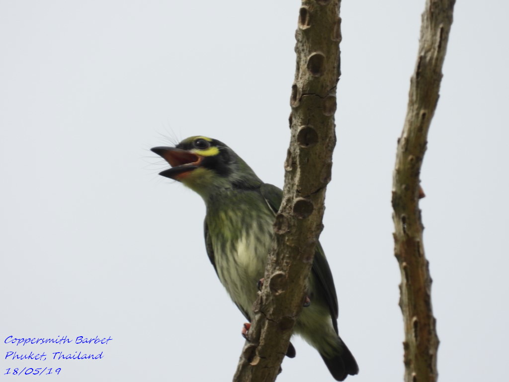 Coppersmith Barbet 8