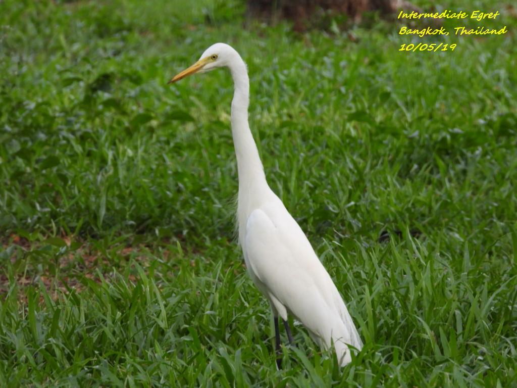 Intermediate Egret 1