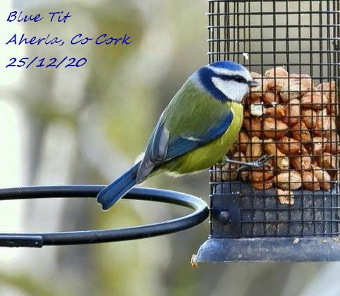 Blue Tit 10