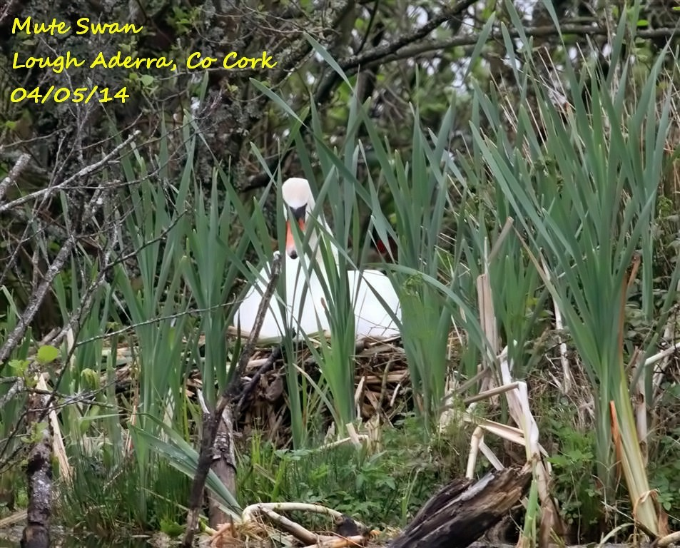 Mute Swan 5